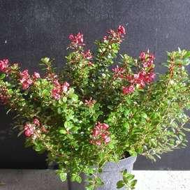 Escallonia planta.