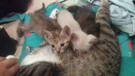 Se da en adoccion dos hermosos gatitos