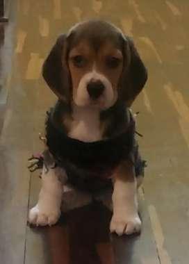 Linda charro beagle de 2 meses