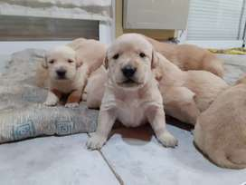Labradores puros