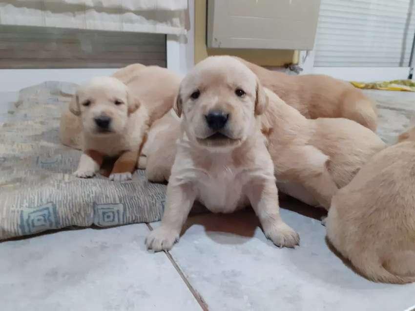 Labradores puros 0