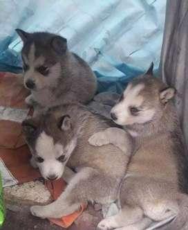 Lindos huskys gris ojos azules