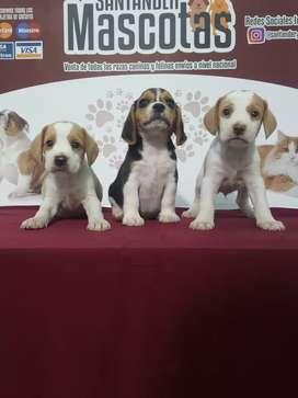Mascotas de raza beagle