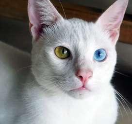 Gatos de raza pura monte: Khao Manee con Heterocromía y otro con ojos azules más un Siamés para monte