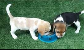 Bellos beagles cariñosos