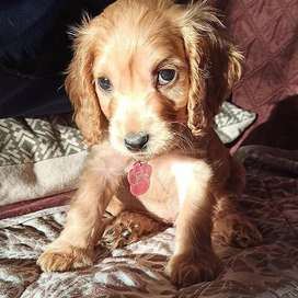 hermosos cachorros cocker spaniel de 47 dias