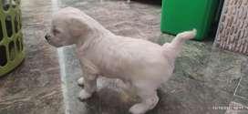 Cachorro frech poodle