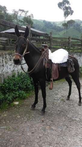 Mula (yegua trotona x burro criollo)