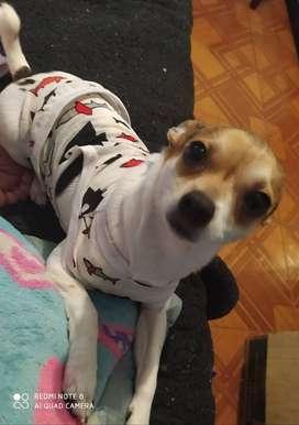 Chihuahua para monta