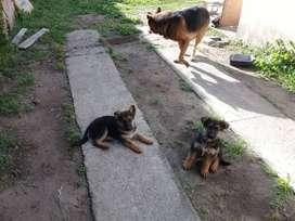 Cachorros de Ovejero