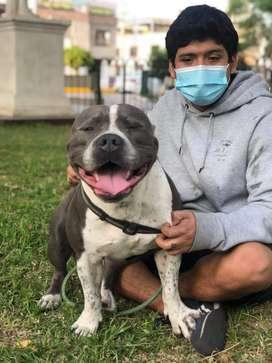 Servicio de monta perro pitbull