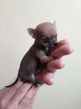 Chihuahua MINI macho