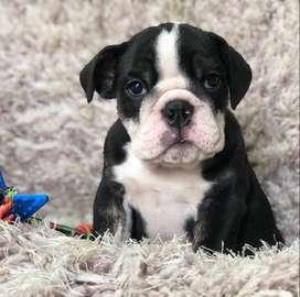 Adorable Cachorro de Buldog Ingles