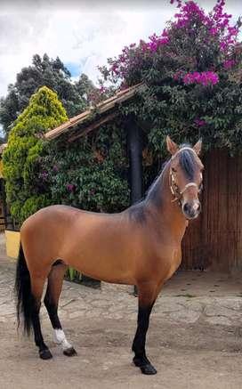 Vendo caballo trotón galopero 2626