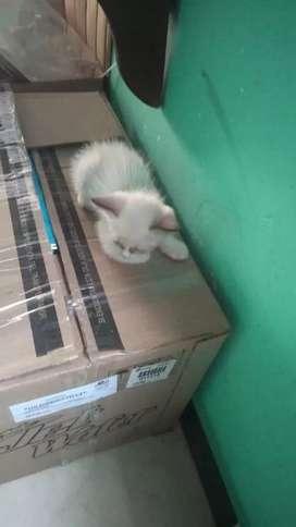 Gatos siamés snowshoe