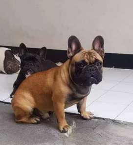 Cachorrita bulldog francés hembra fawn disponible