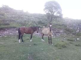 Vendo dos caballos mansos de andar  muy buenos