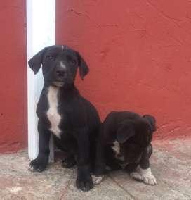 Gran Danés.  Dogo Alemán color Boston.  2 meses de edad