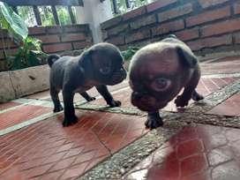 Venta de hermosos perritos Pug tacita de te oscuros