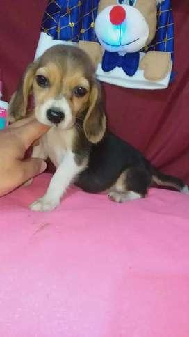 Esta muy bien educada beagle raza pra