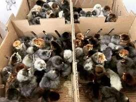 Venta de pollos x cajas