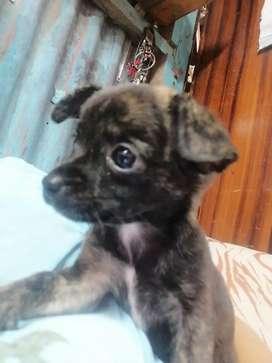 Cachorra Chihuahua