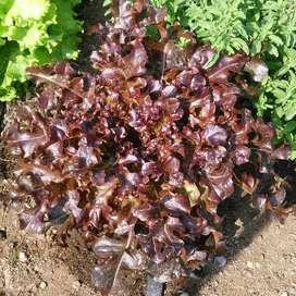 semillas de lechuga morada planta
