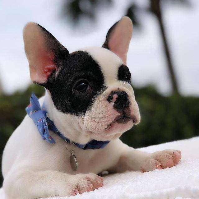 hermosos caninos frances de 58 dias 0
