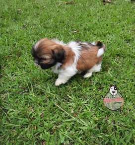 Espectaculares Cachorros Shitzu Mascotas Rionegro Disponibles entrega Inmediata