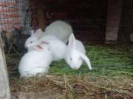 Se venden conejos bebes