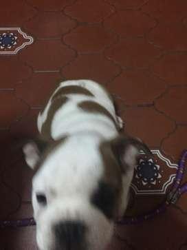 Vendo cachorra bulldog Inglés