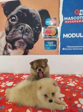 Súper inteligente cachorros Pomeranias
