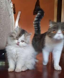 Gatos persas exóticos y persa dollface