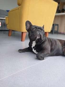 Busco novia bulldog francés 2 años