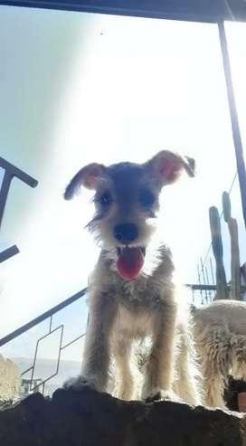 Perros snauzcher de 2 meses
