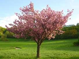 Planton Árbol Sakura O Cerezo Japones