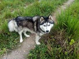 Se vende un husky siberiano