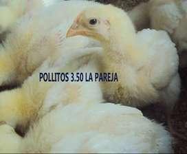 Pollos broiler