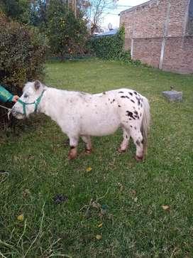 Caballo Pony castrado