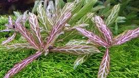 planta acuatica polisperma rosanervigrvig