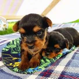 yorky mini en venta cachorros