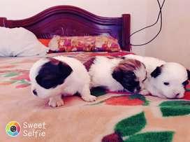 Se vende tres hermosos cachorros shitzu