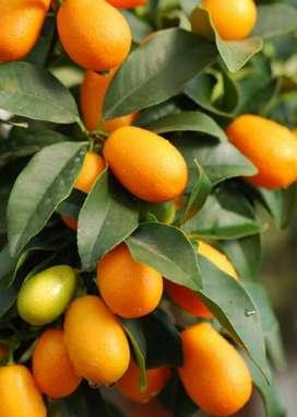 Kumquat Fortunella Planta Bio