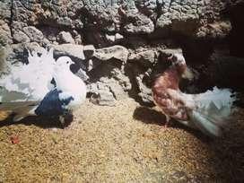 Vendo palomas colipavas hembra y macho