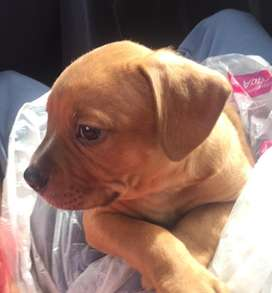 Se vende perro raza pitbull