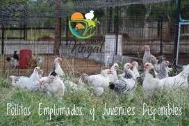 Pollos y Pollas Genética Mejorada