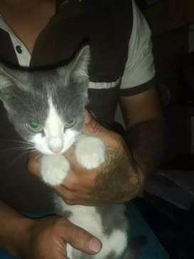 Gatatica bebe en adopcion gris
