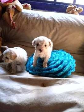 venta de cachorro micro toy
