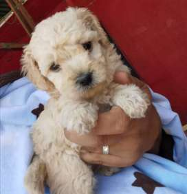 Vendo perritos french poodle color champagne  83667941