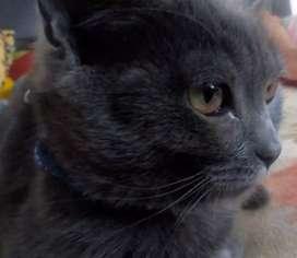 Hermosa gata raza russo azul, edad 11 mess